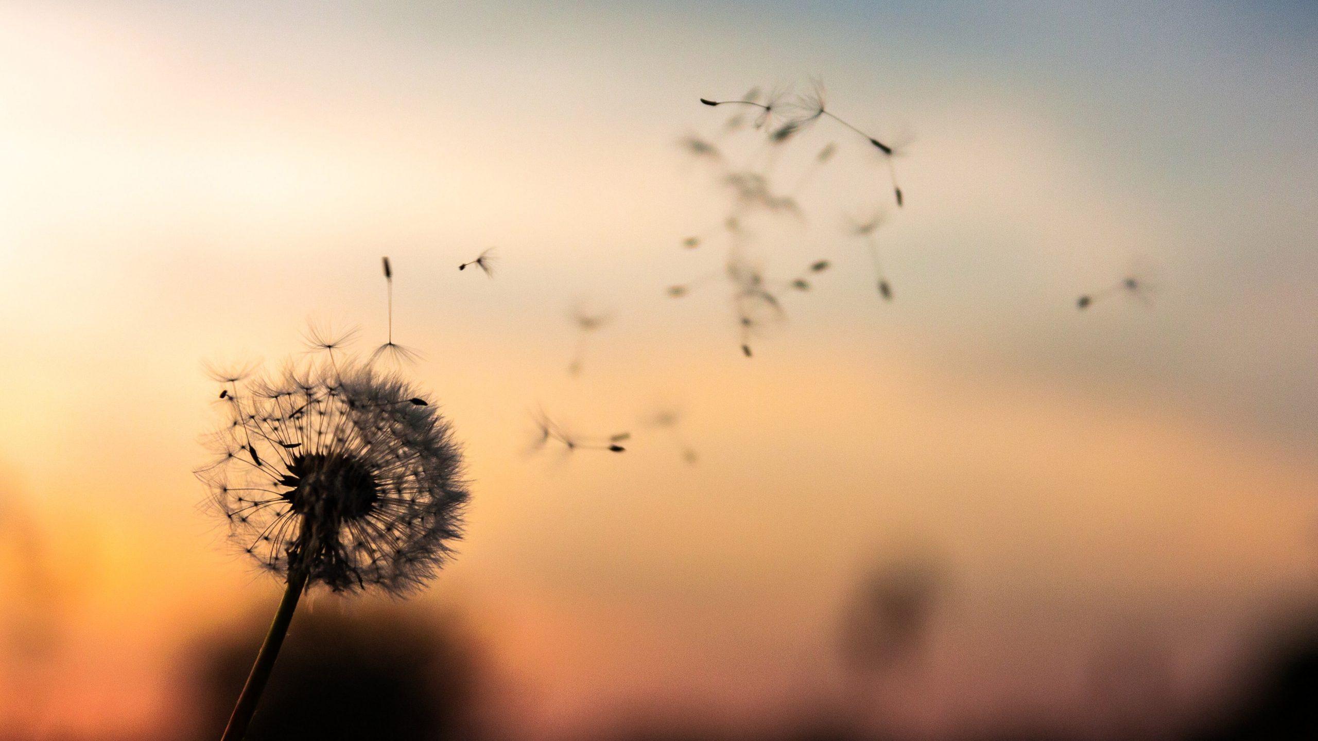 A dandelion being blown in the breeze